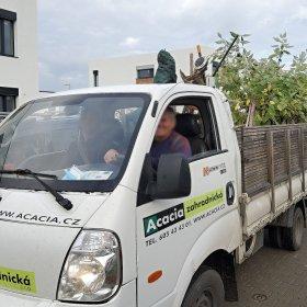 0411-2020: a už tu jsou i stromy - 6 sakur pro ulici PodHumny od našeho spolehlivého zahradníka Ing. Wiedermanna - Acacia zahradnická -